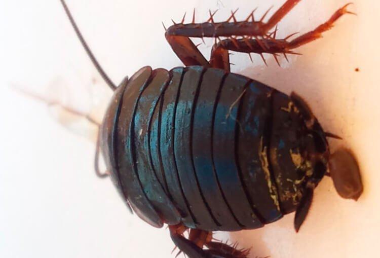 ¿Cómo identificar los huevos de cucarachas?