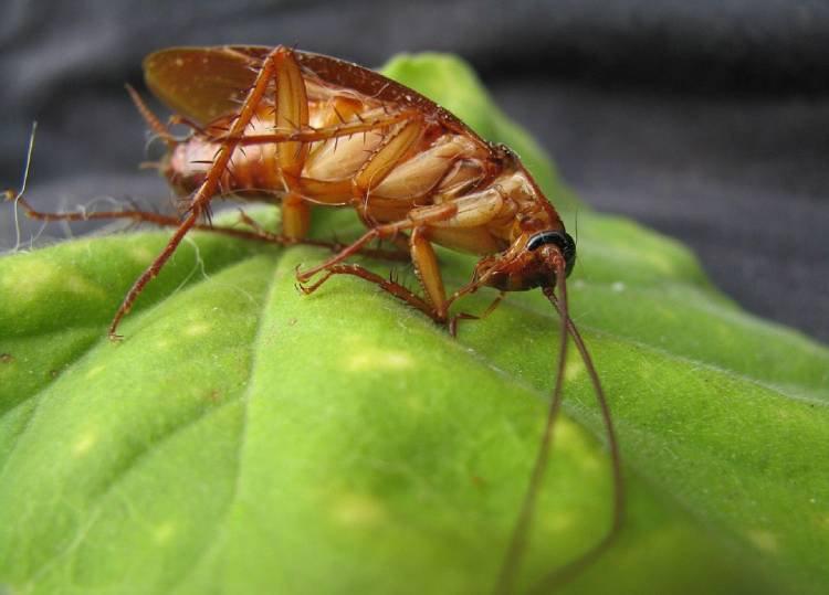 ¿Cuánto tiempo vive una cucaracha?