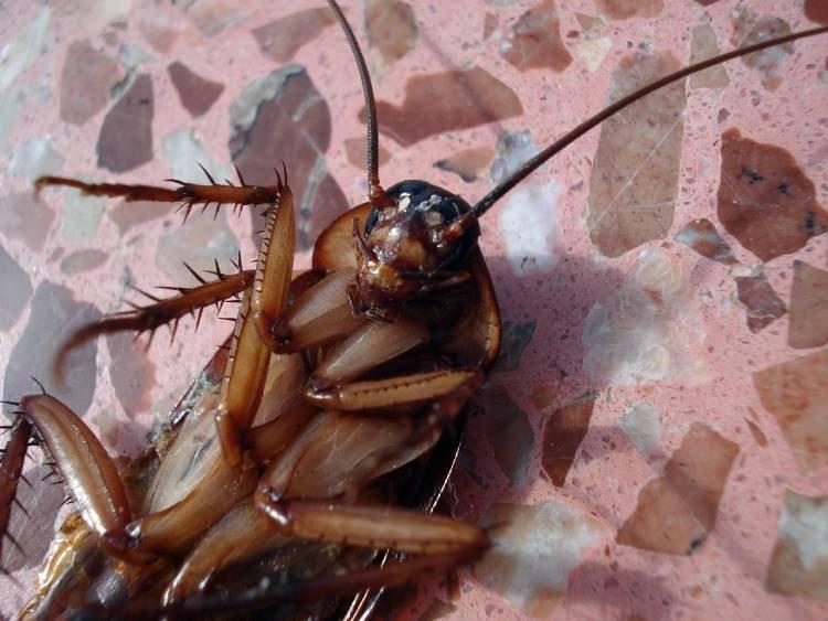 Cómo matar o eliminar cucarachas